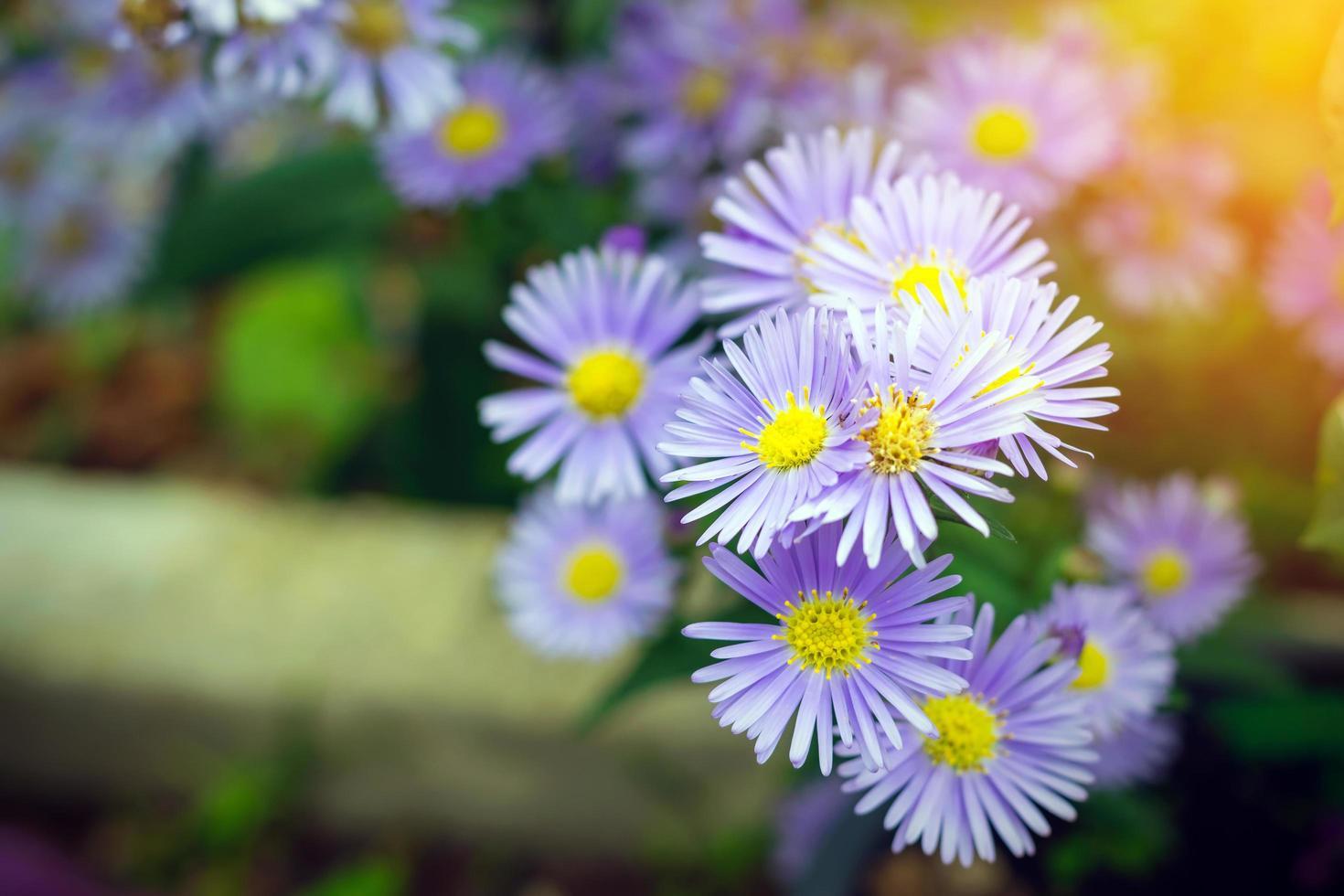 fleurs de margaret pourpre photo