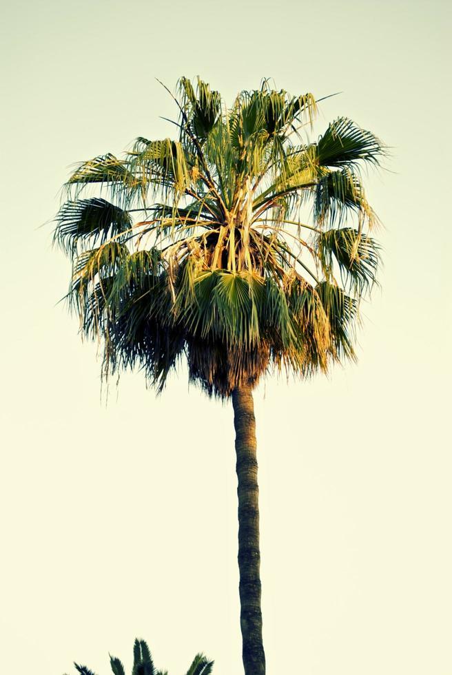 palmier à Majorque photo