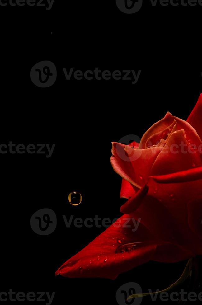 rose et une goutte photo