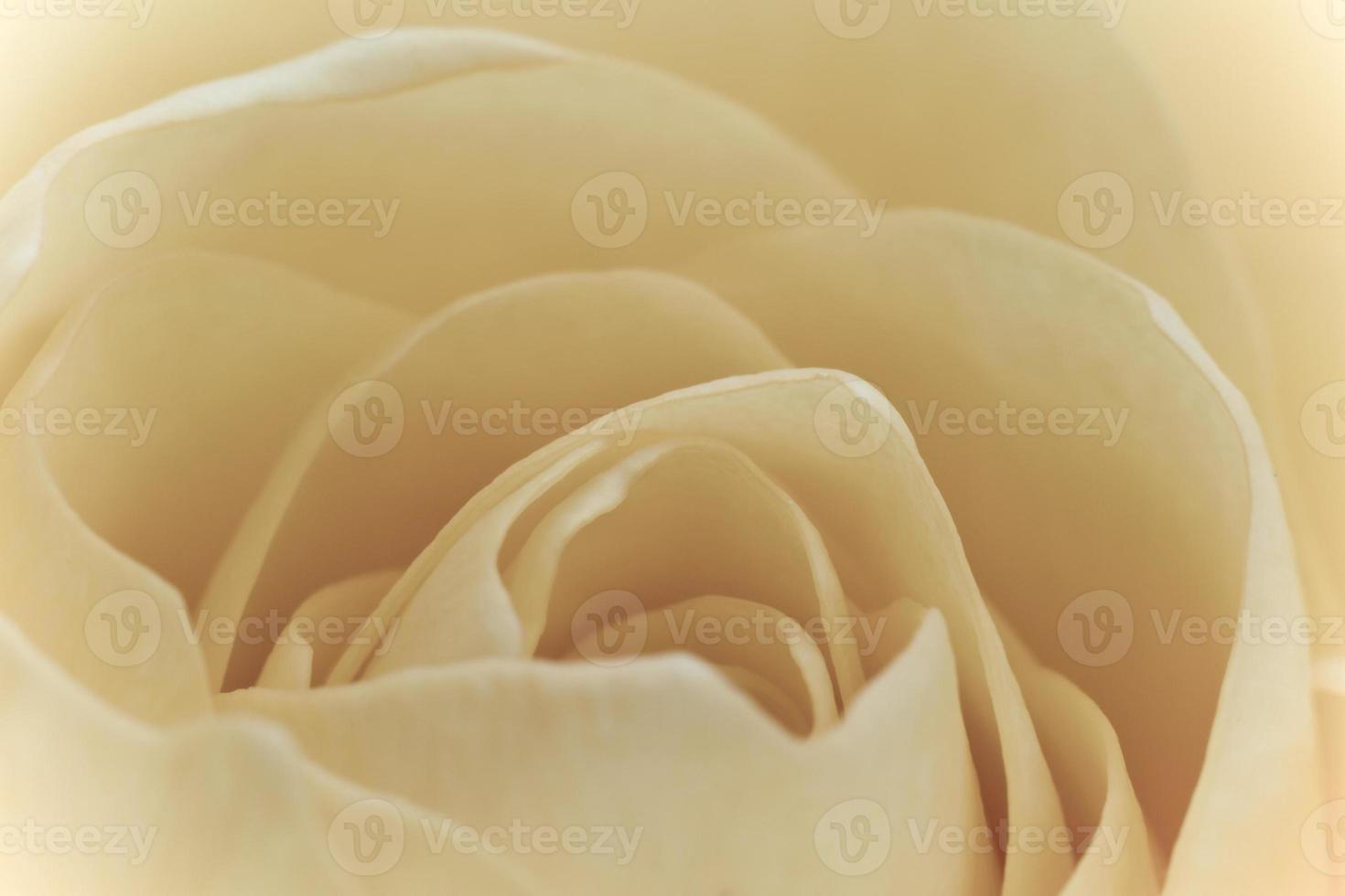 macro rose blanche photo