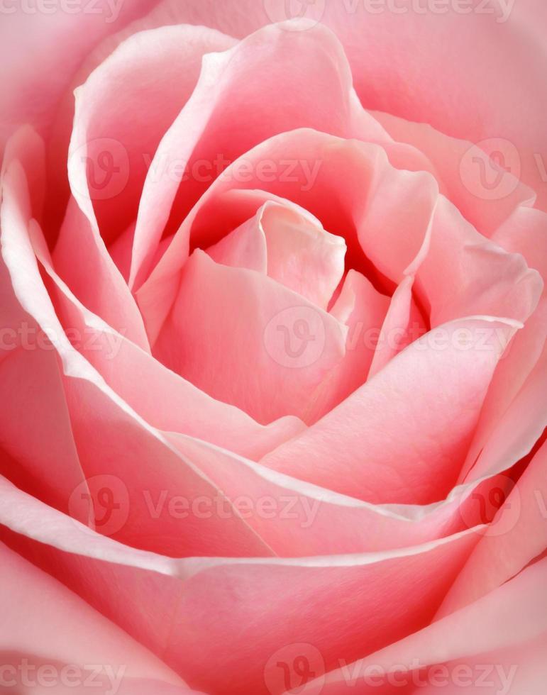 rose rose, gros plan photo
