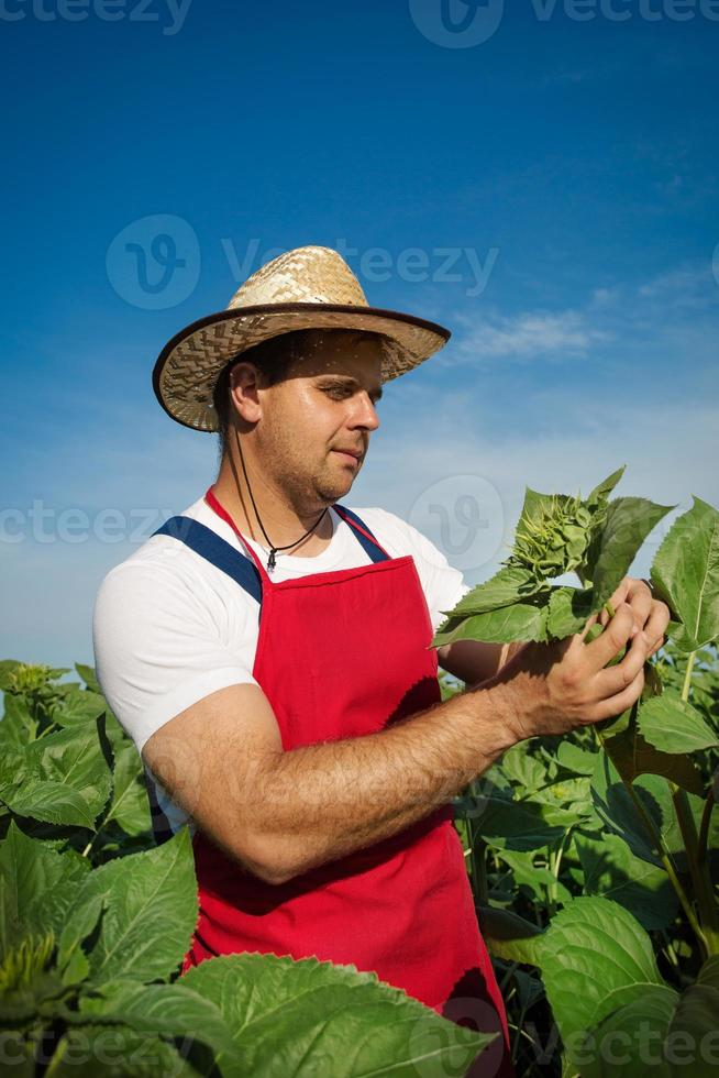 agriculteur dans son champ de tournesol photo