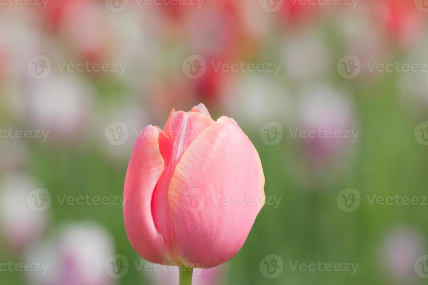 parterre de fleurs de tulipes photo