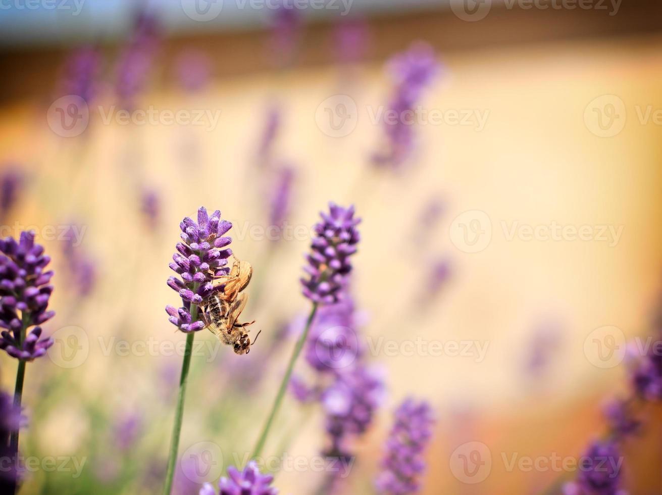 araignée a attrapé une abeille sur la lavande photo
