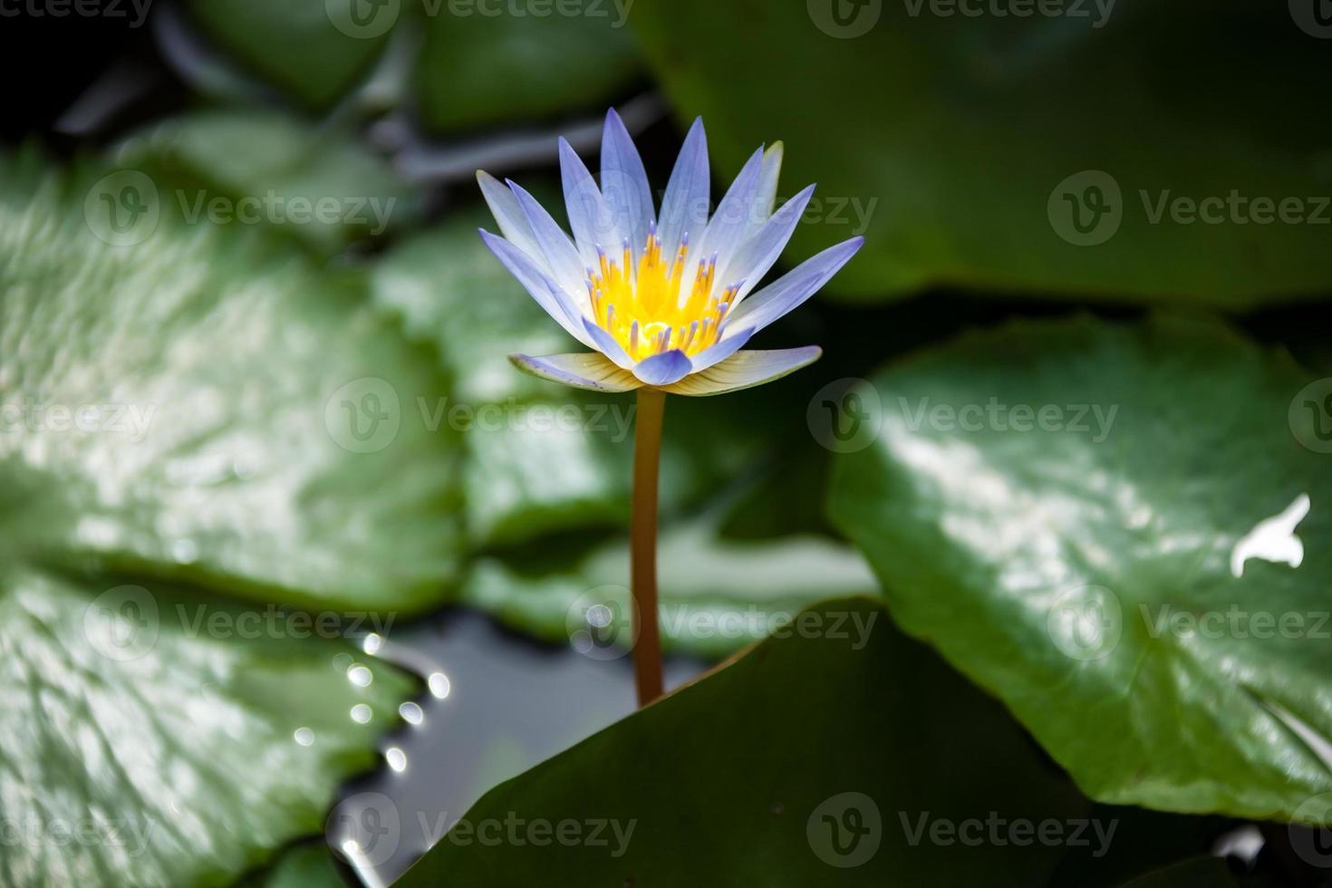 lotus du matin photo