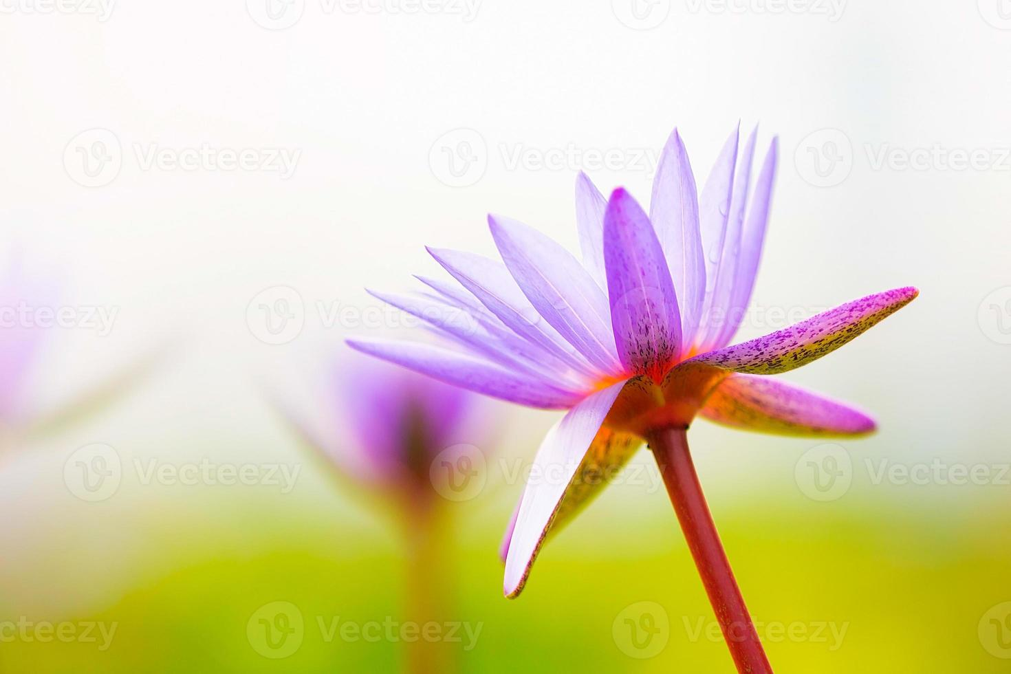 fleur de lotus en fleurs photo