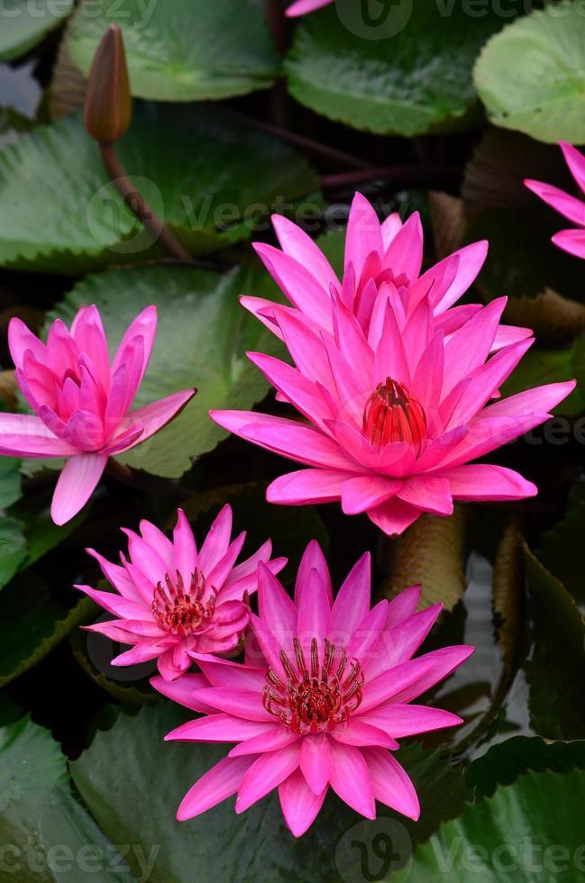fleur de lotus rose beau lotus. photo