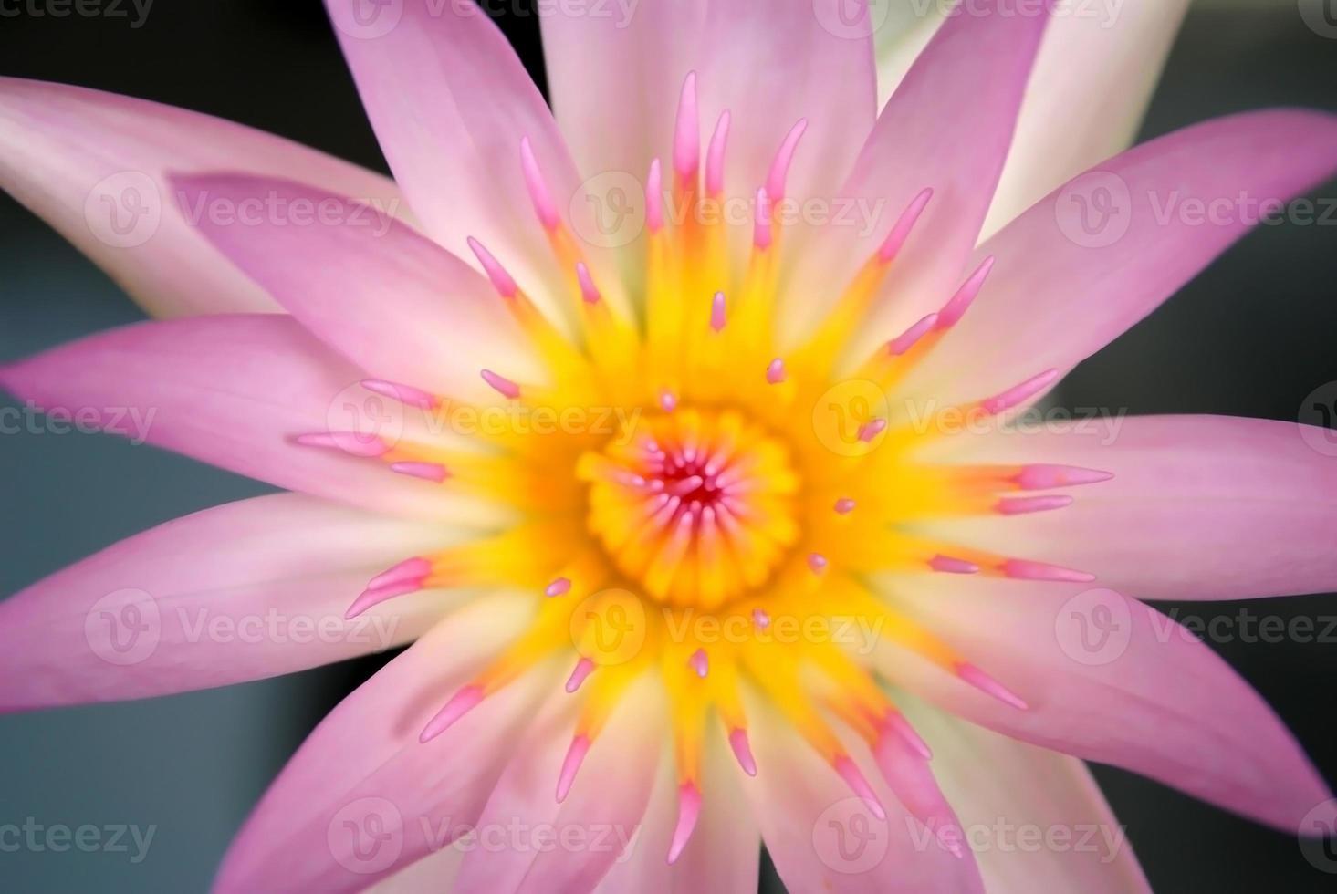 beau lotus rose photo