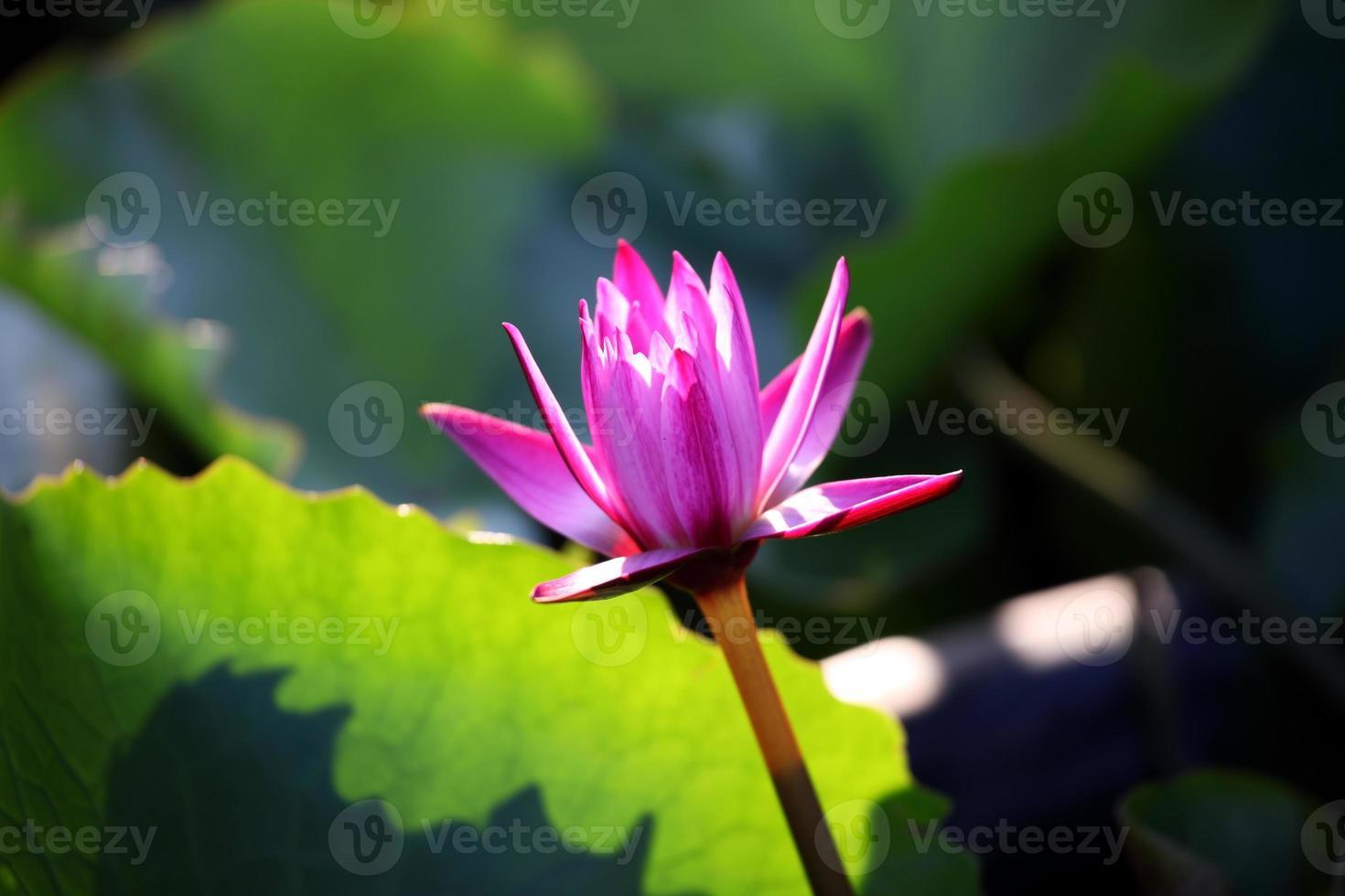 belle fleur de lotus photo