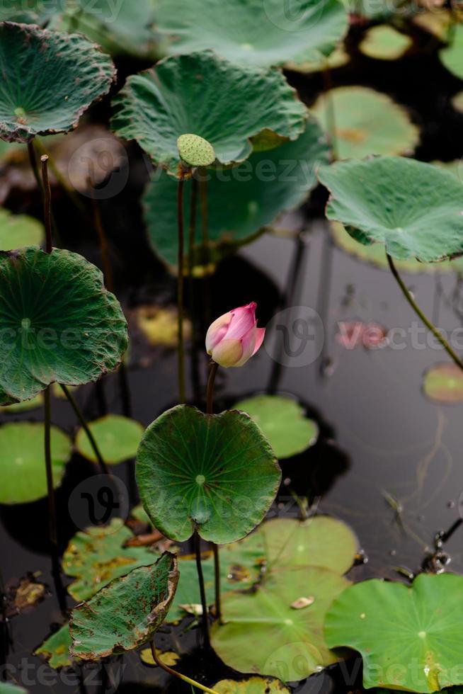 ping lotus dans la piscine photo
