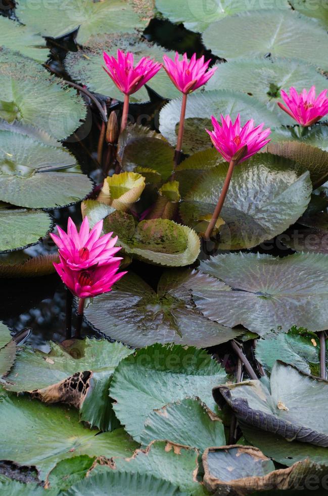 fleur de lotus dans l'étang. photo