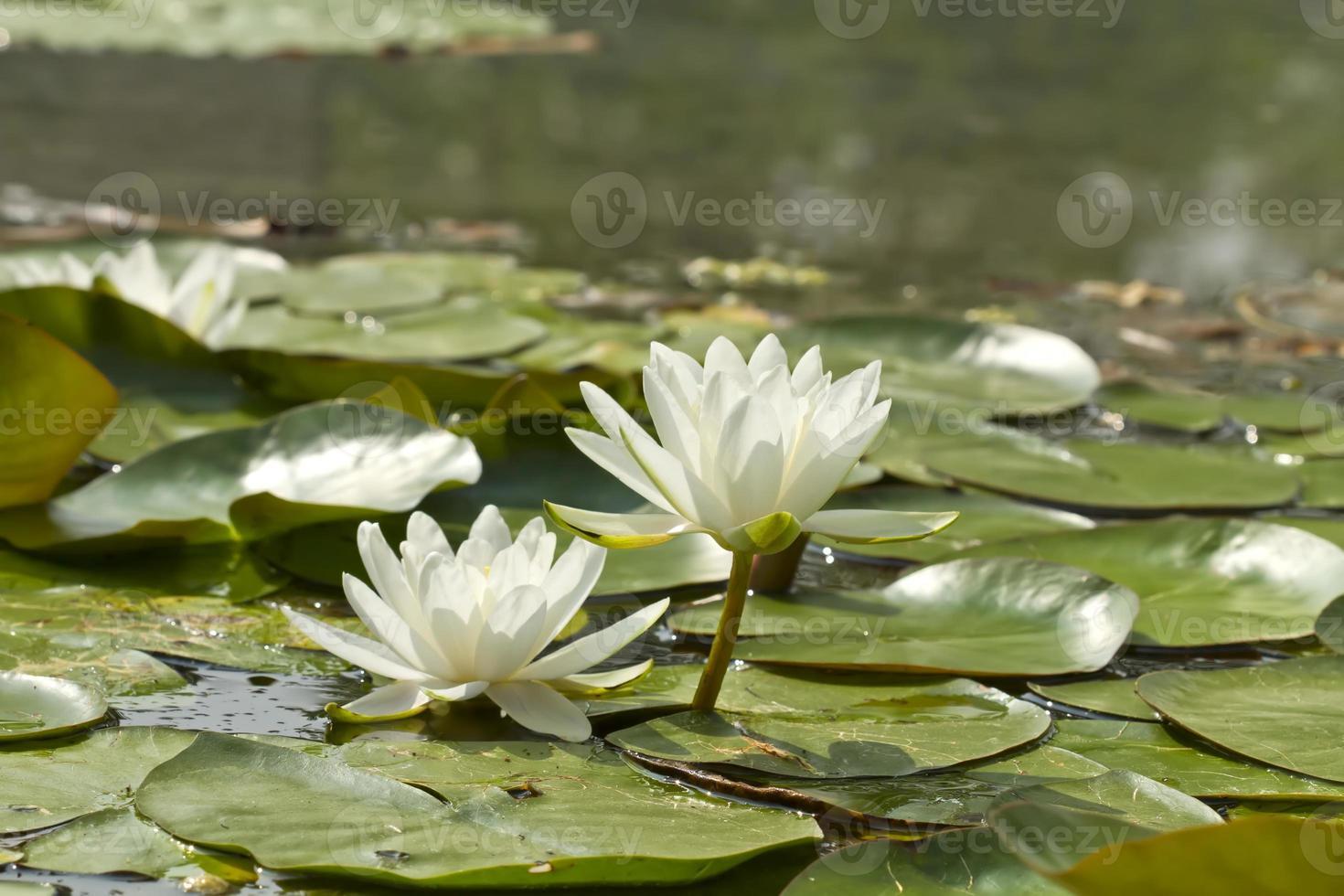 fleurs de lotus sur fond de nature verte photo
