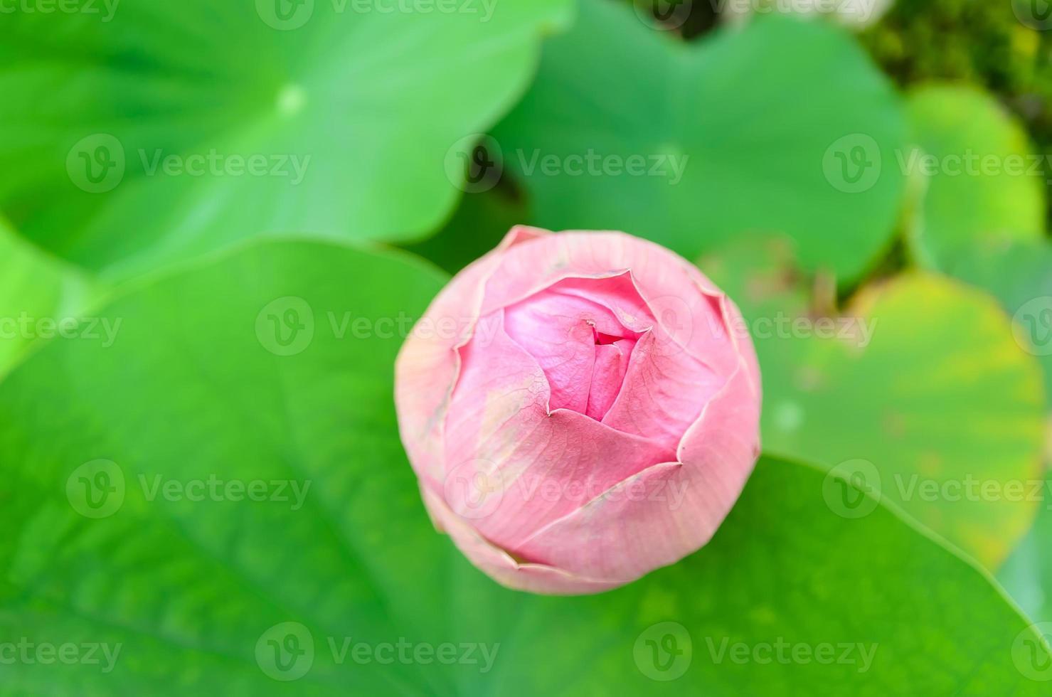fleur de lotus, point de mise au point sélectif photo