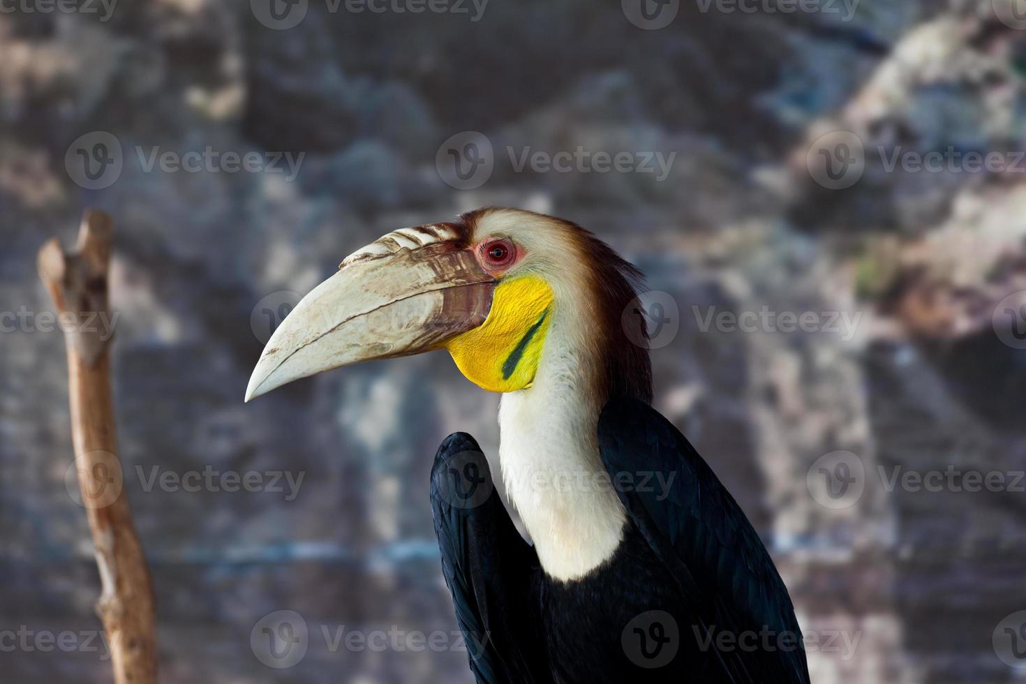 calao couronné, oiseau photo