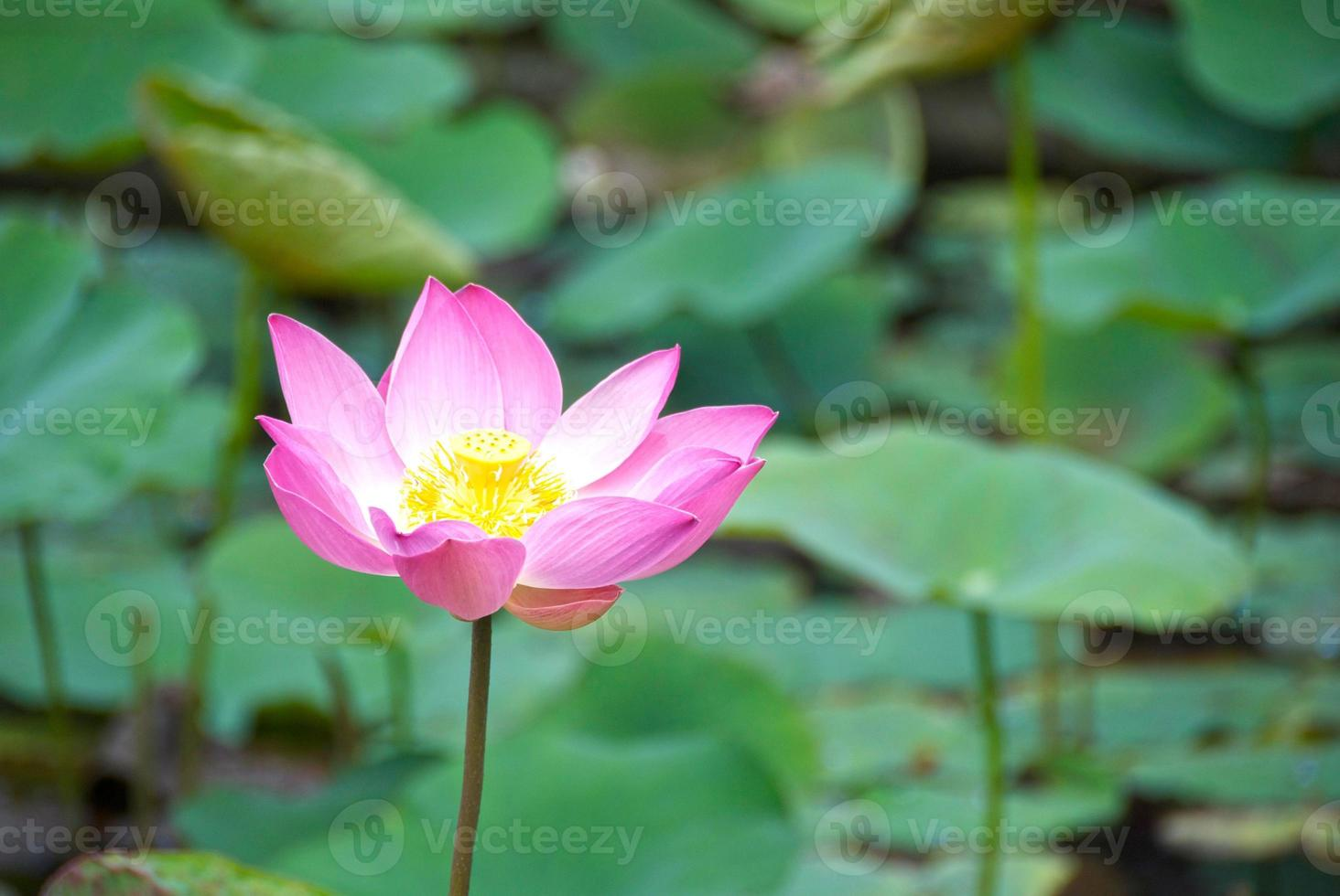 fiore di loto photo