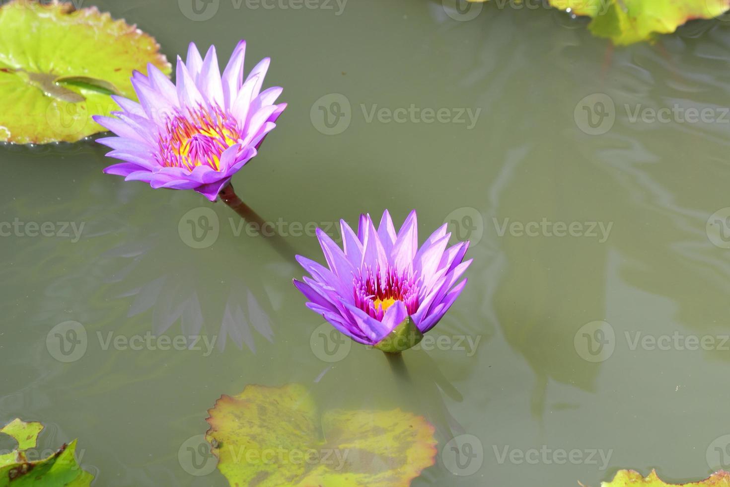 fleur de lotus dans l & # 39; étang photo