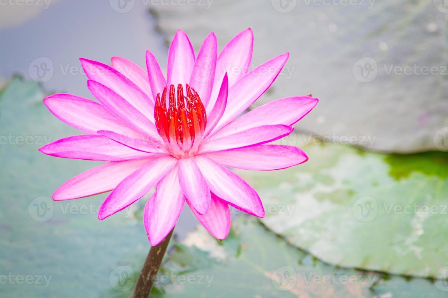 lotus rose photo