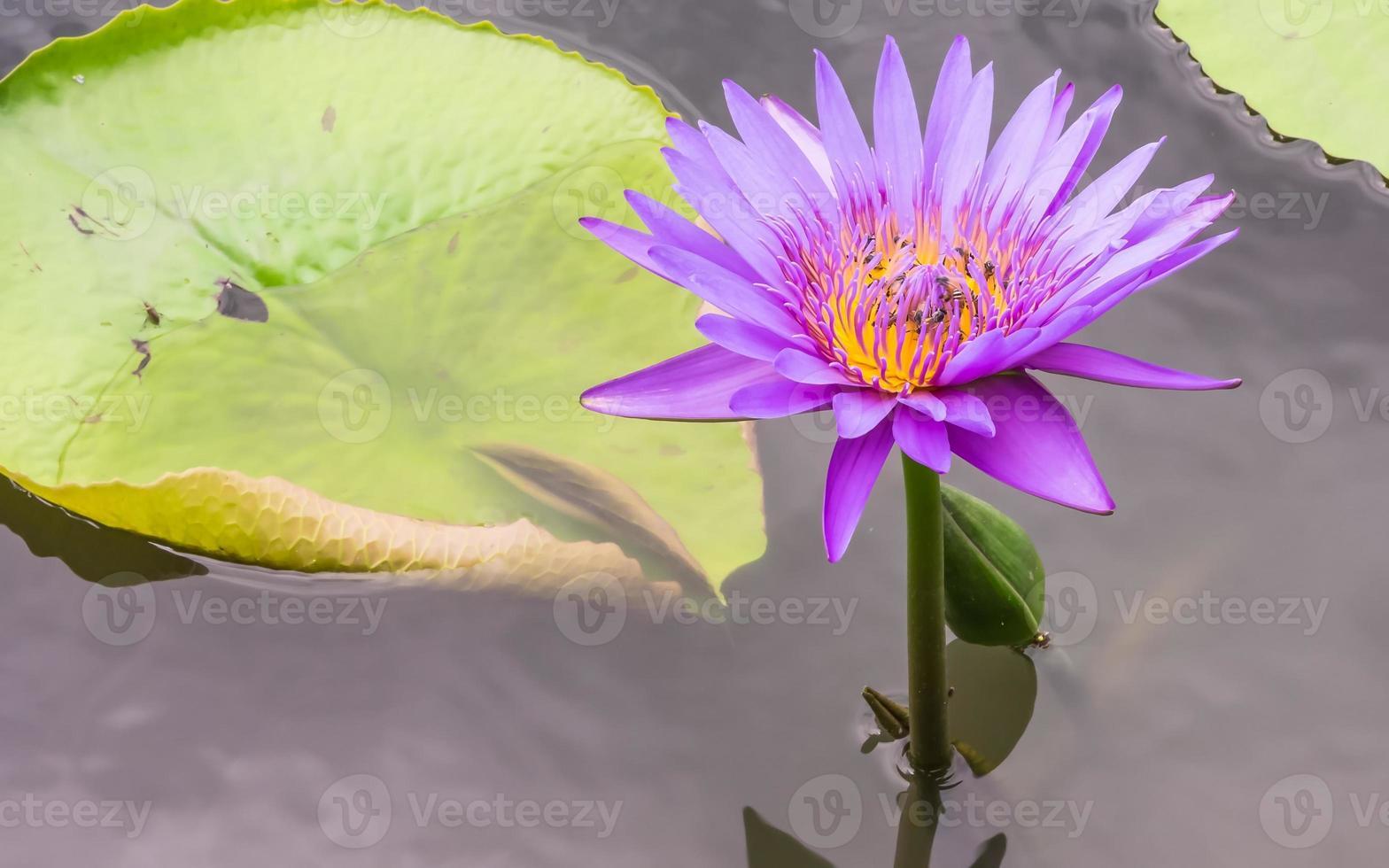 fleur de lotus avec des abeilles photo