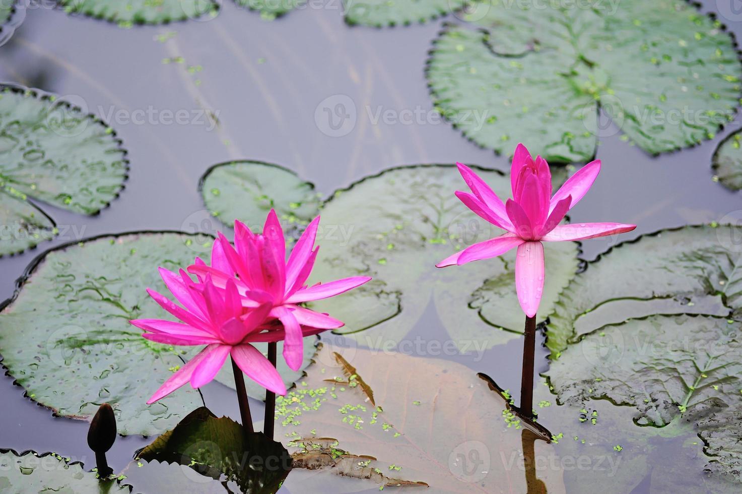 Lotus dans la piscine de la nature à la lumière du soleil photo