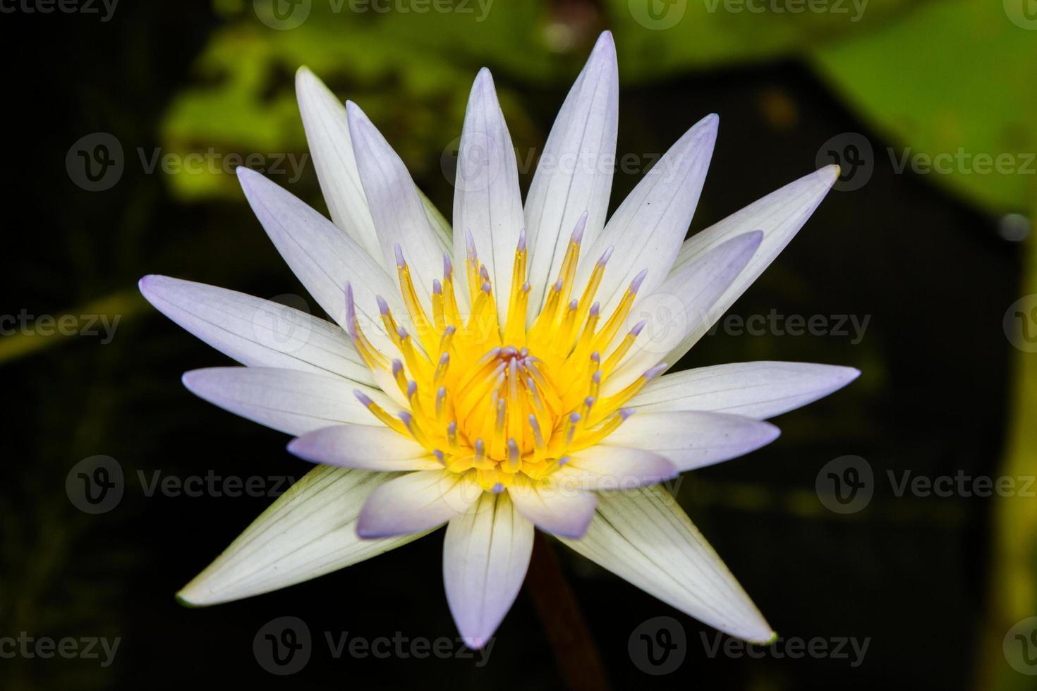 belle fleur de lotus blanc dans l'étang photo