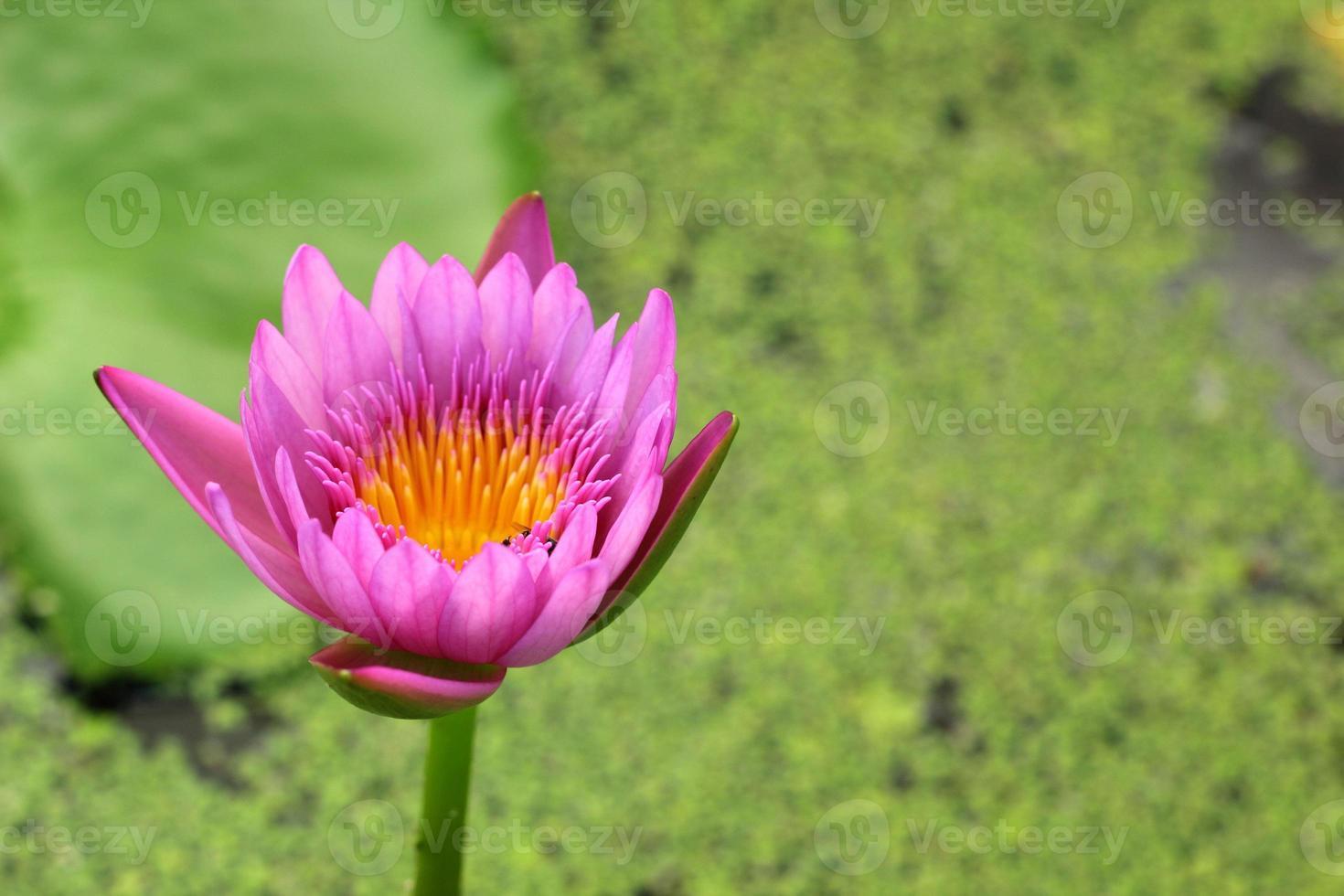lotus rose violet dans la nature photo