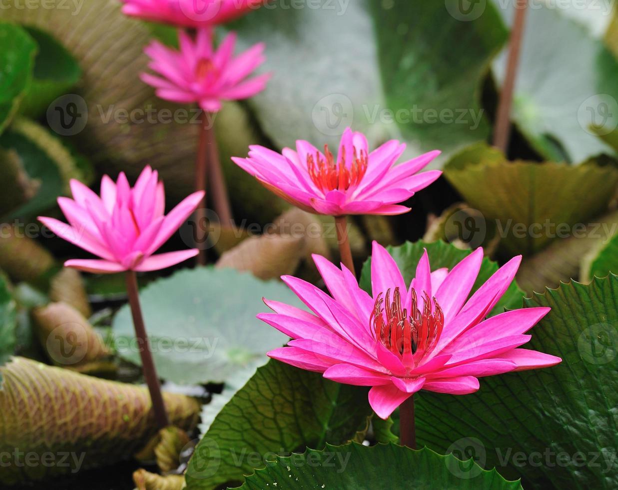 fleur de lotus mauve qui fleurit dans l'étang. photo