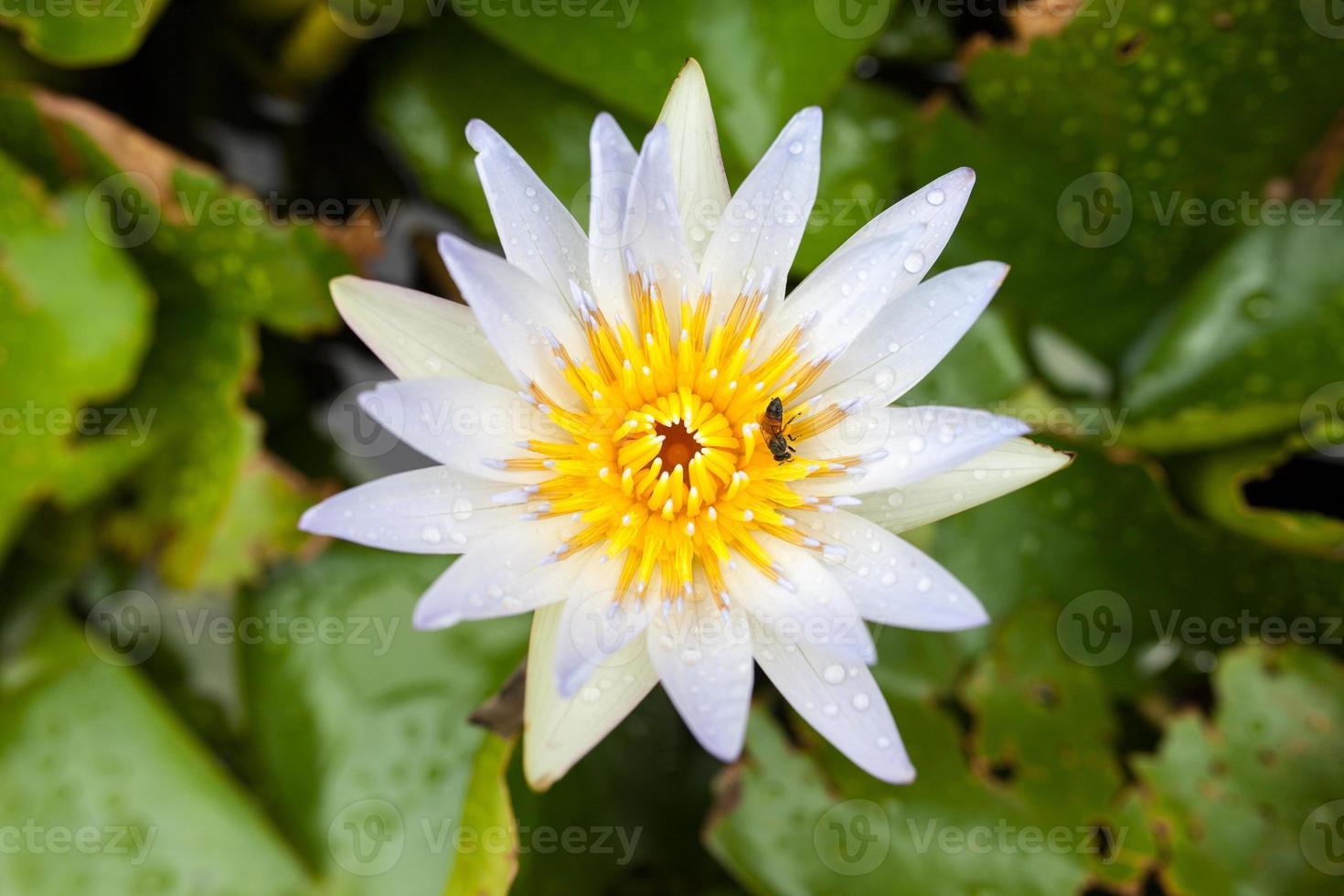 lotus blanc et abeille dans la piscine photo