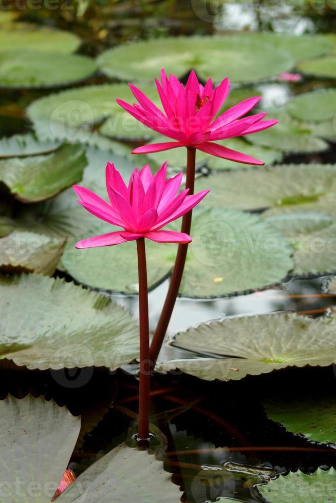Fleurs de lotus rose ou fleurs de nénuphar qui fleurit sur l'étang photo