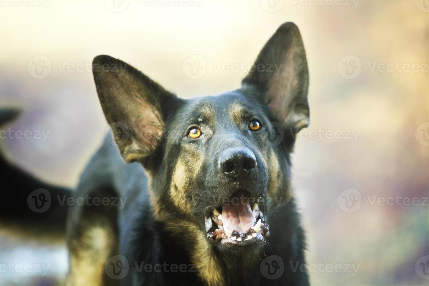 Un jeune berger allemand en colère aboie et grogne en défense photo
