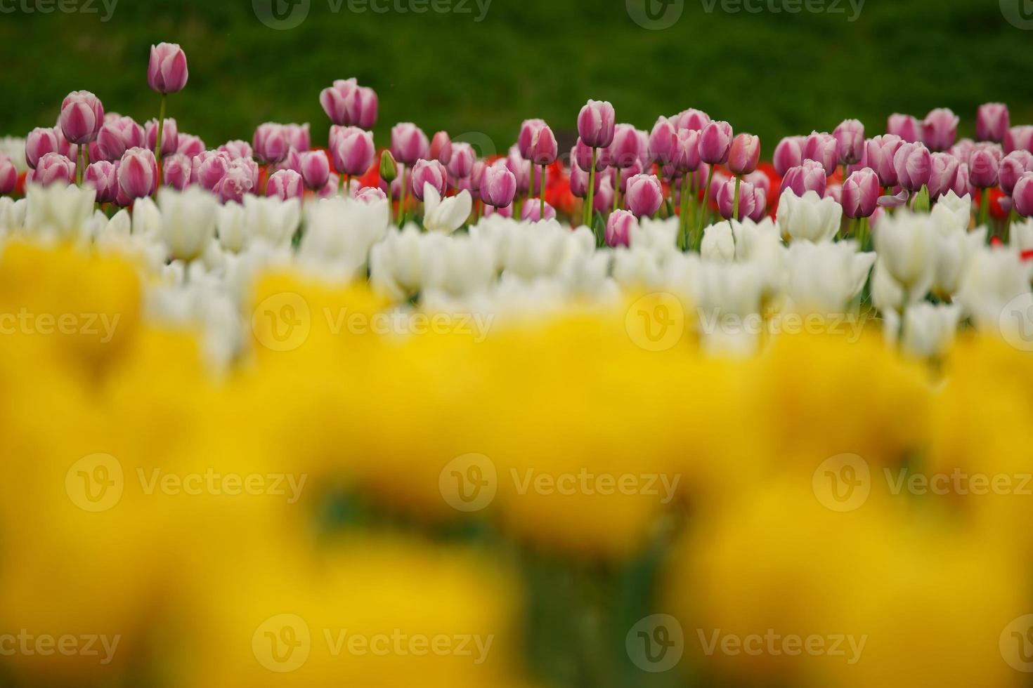 tulipe de lit de rivière photo