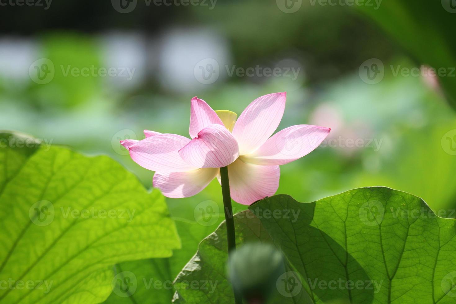 Fleurs de lotus dans le jardin de la ville de Yokohama Sankei photo
