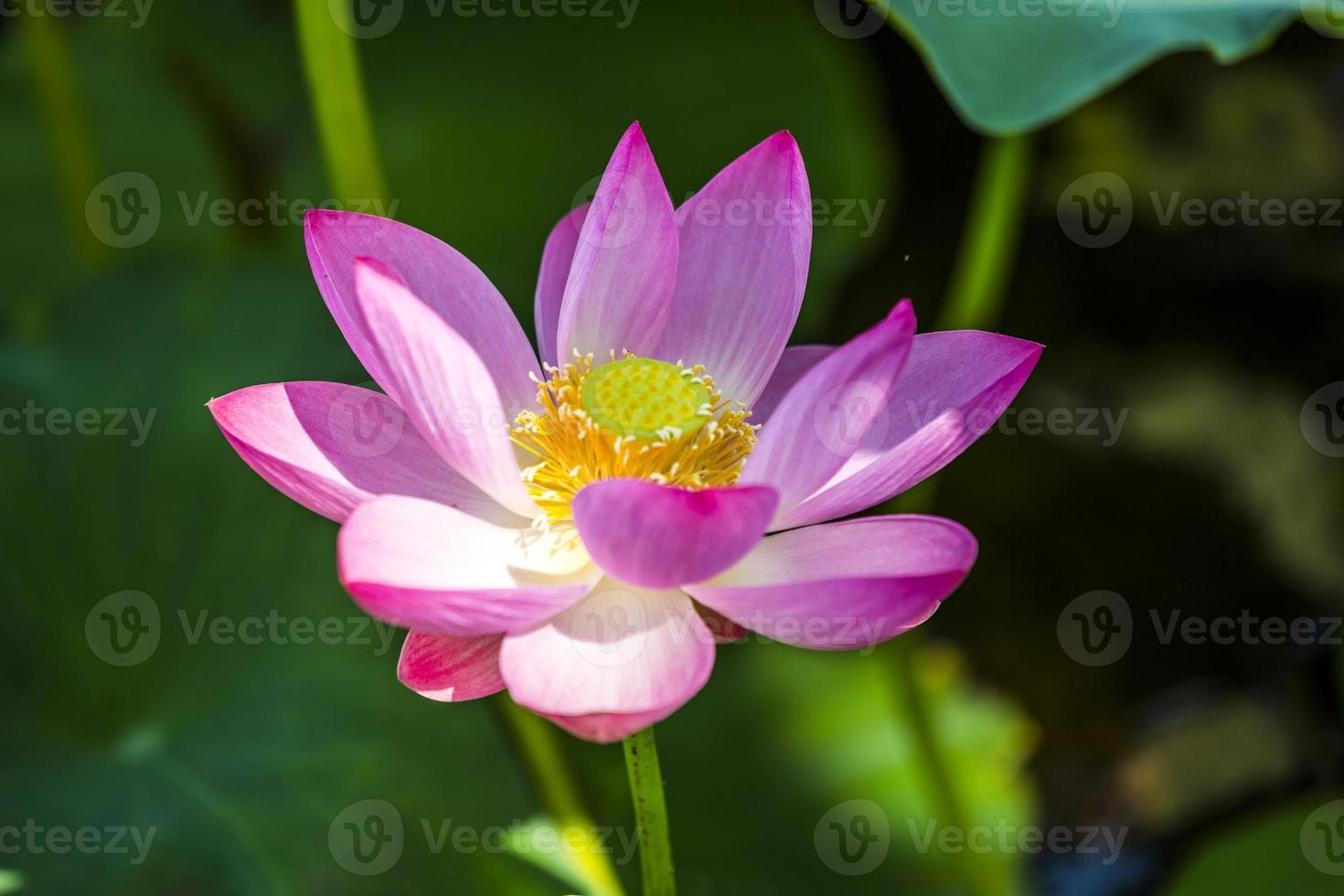le lotus et la feuille de lotus photo