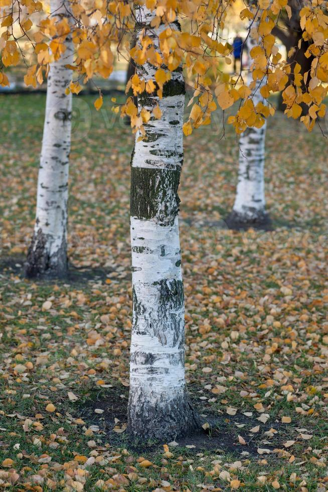 bouleaux d'automne photo