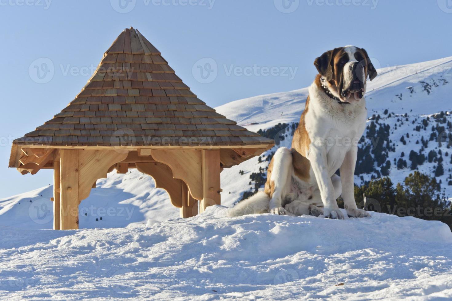 coucher de soleil sur un chien de san bernardo et des dolomites photo