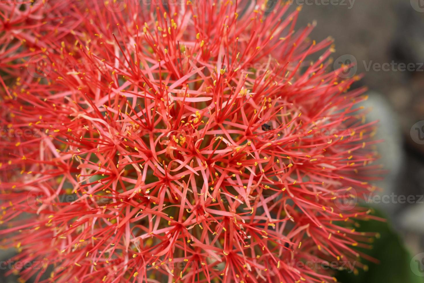 gros plan de haemanthus multiflorus (tratt.) fleur de lys de sang martyn. photo