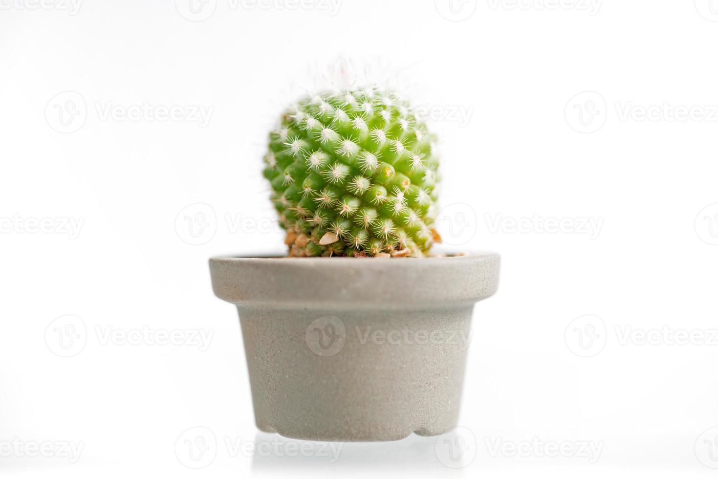 cactus isolé sur fond blanc photo