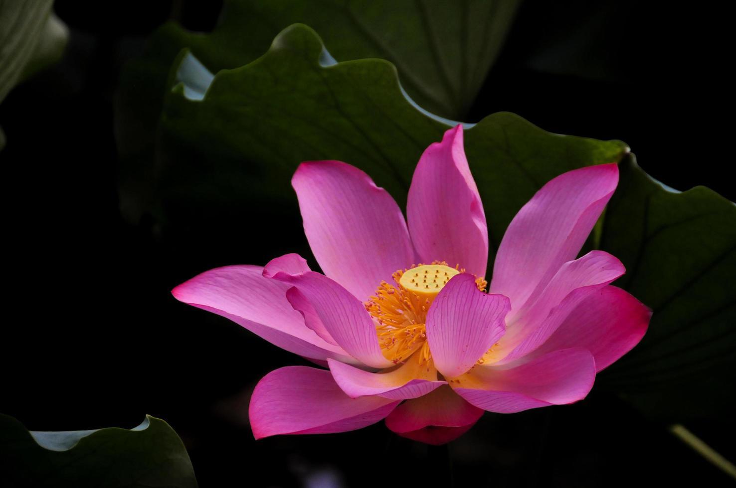 fleur rose avec centre jaune photo