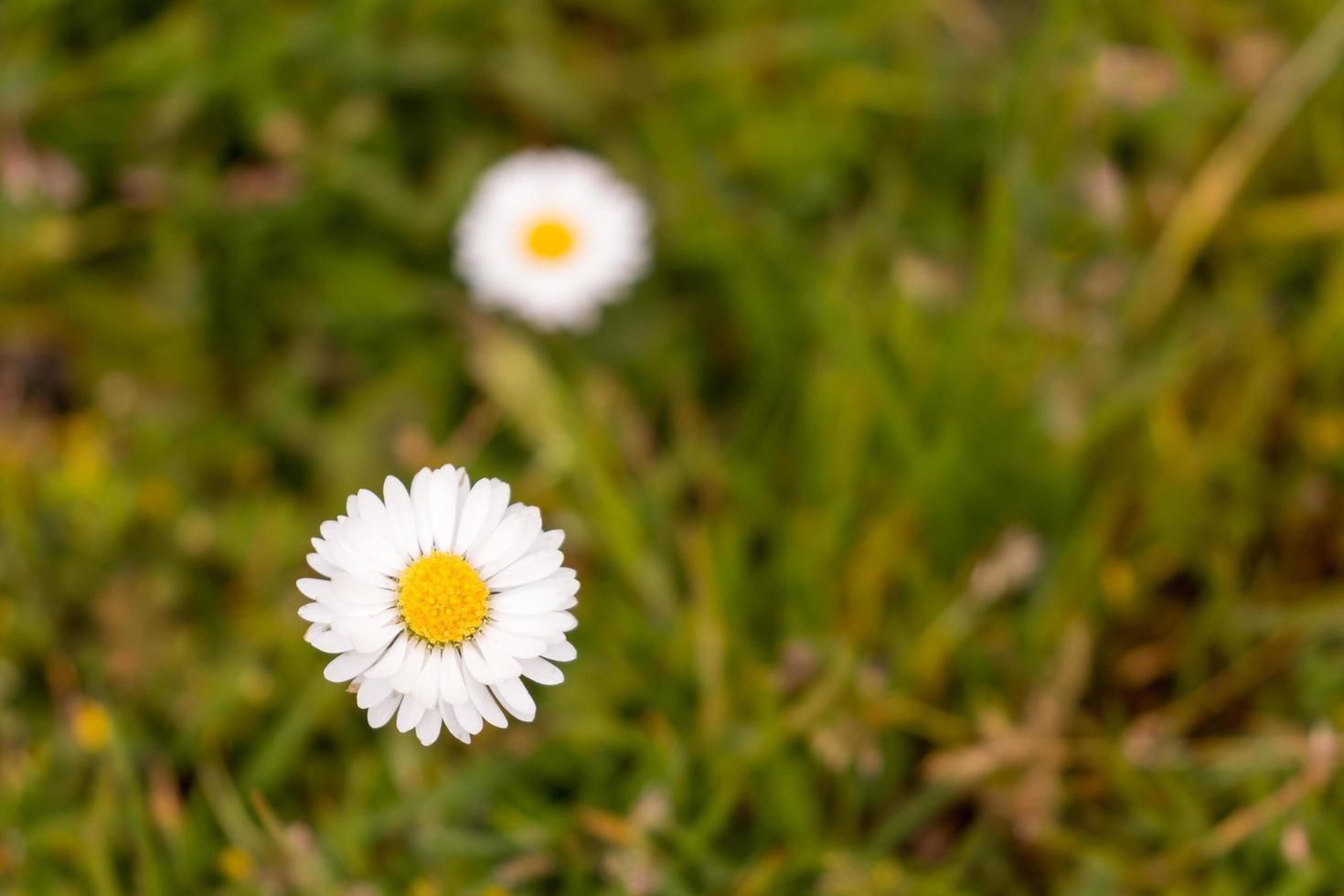 Marguerite commune en pleine floraison photo