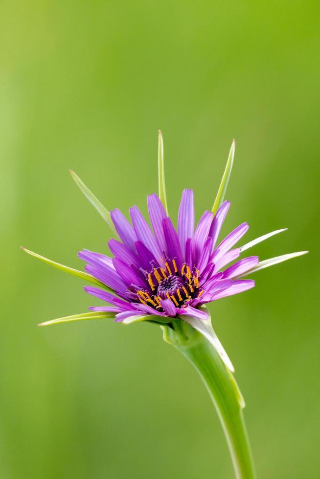 gros plan, de, violet, salsifis, fleur photo