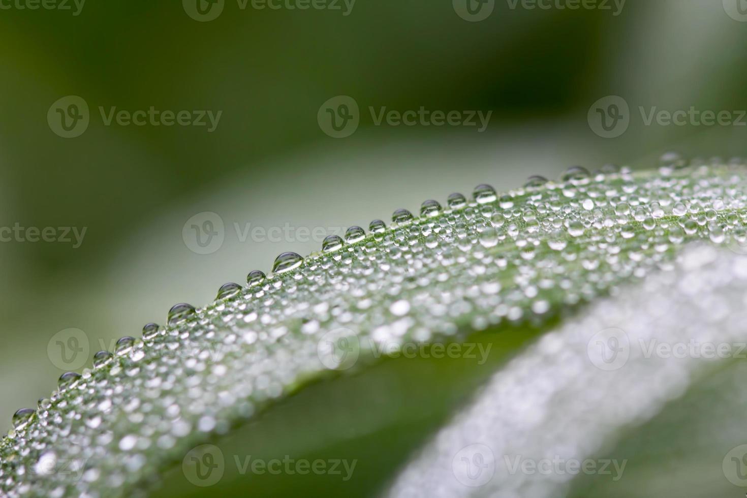 rosée du matin sur le blé photo