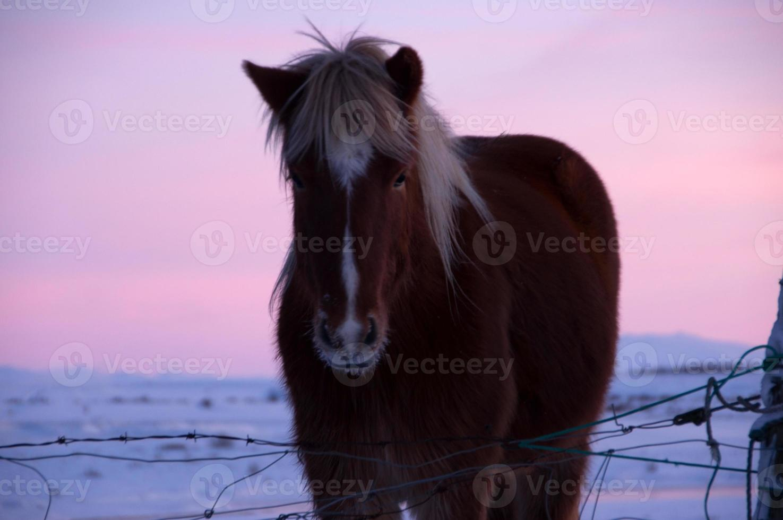 Poneys à la vallée de Haukadalur, Islande photo