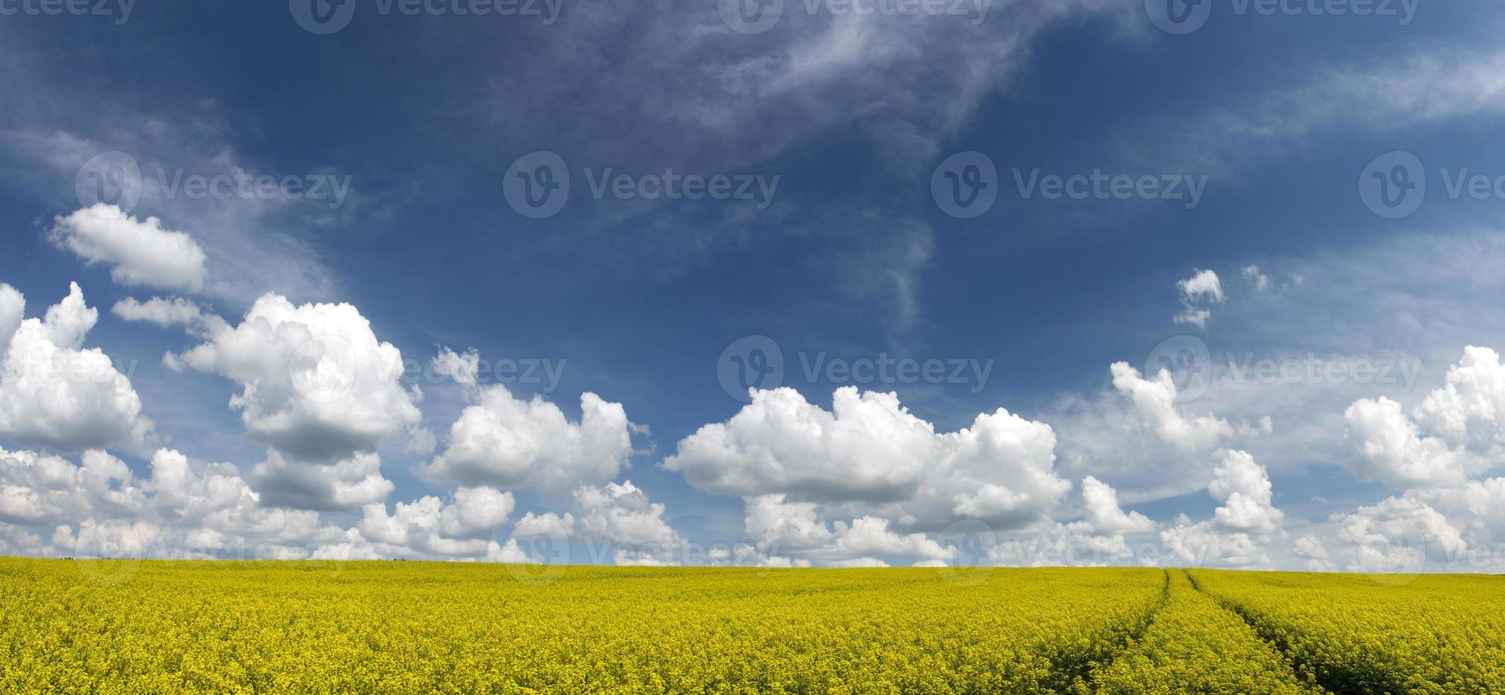 champ de viol panoramique photo