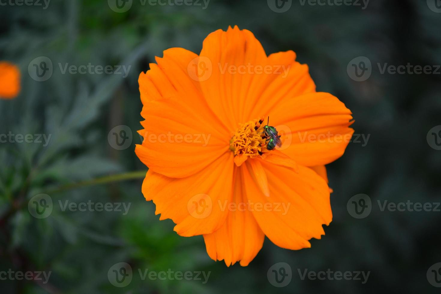 belle fleur orange avec mouche photo