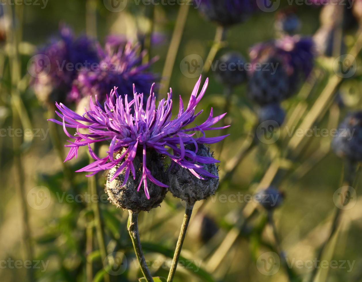 fleurs sauvages qui fleurissent dans un champ photo