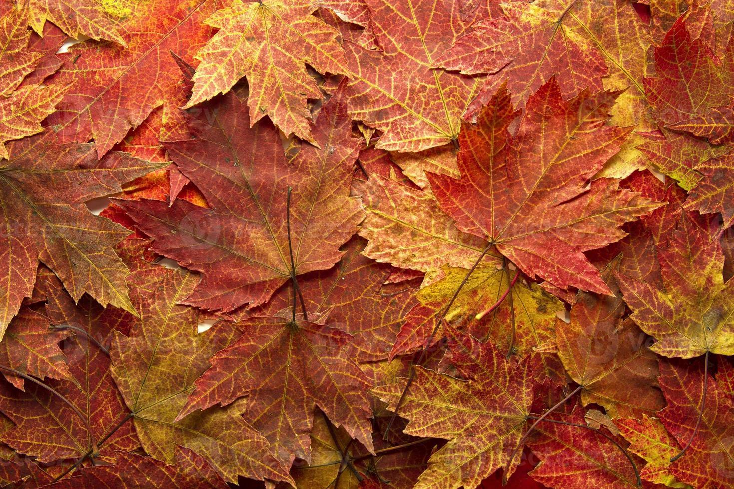 fond de feuilles d'érable automne rouge photo