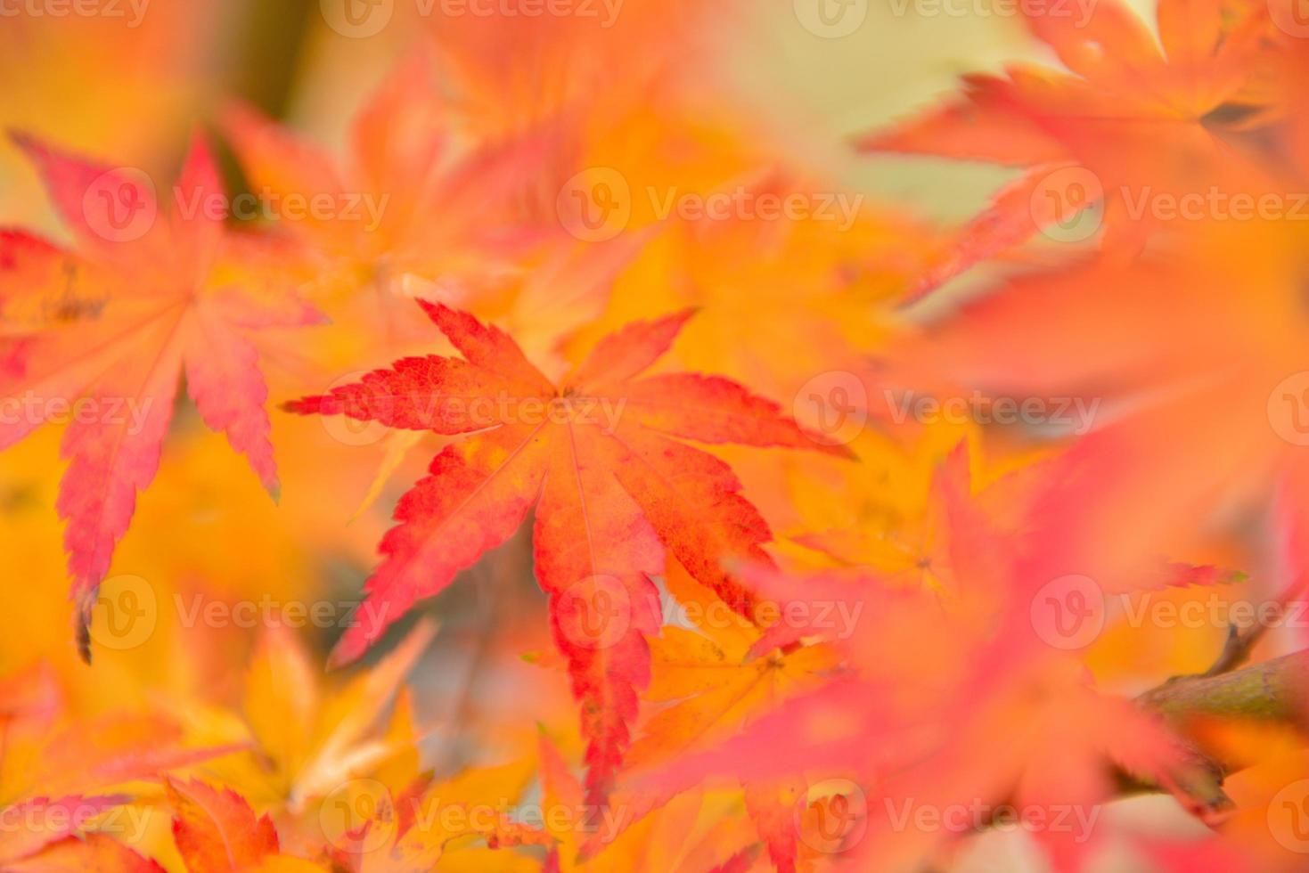 couleurs d'automne des feuilles d'érable japonais photo