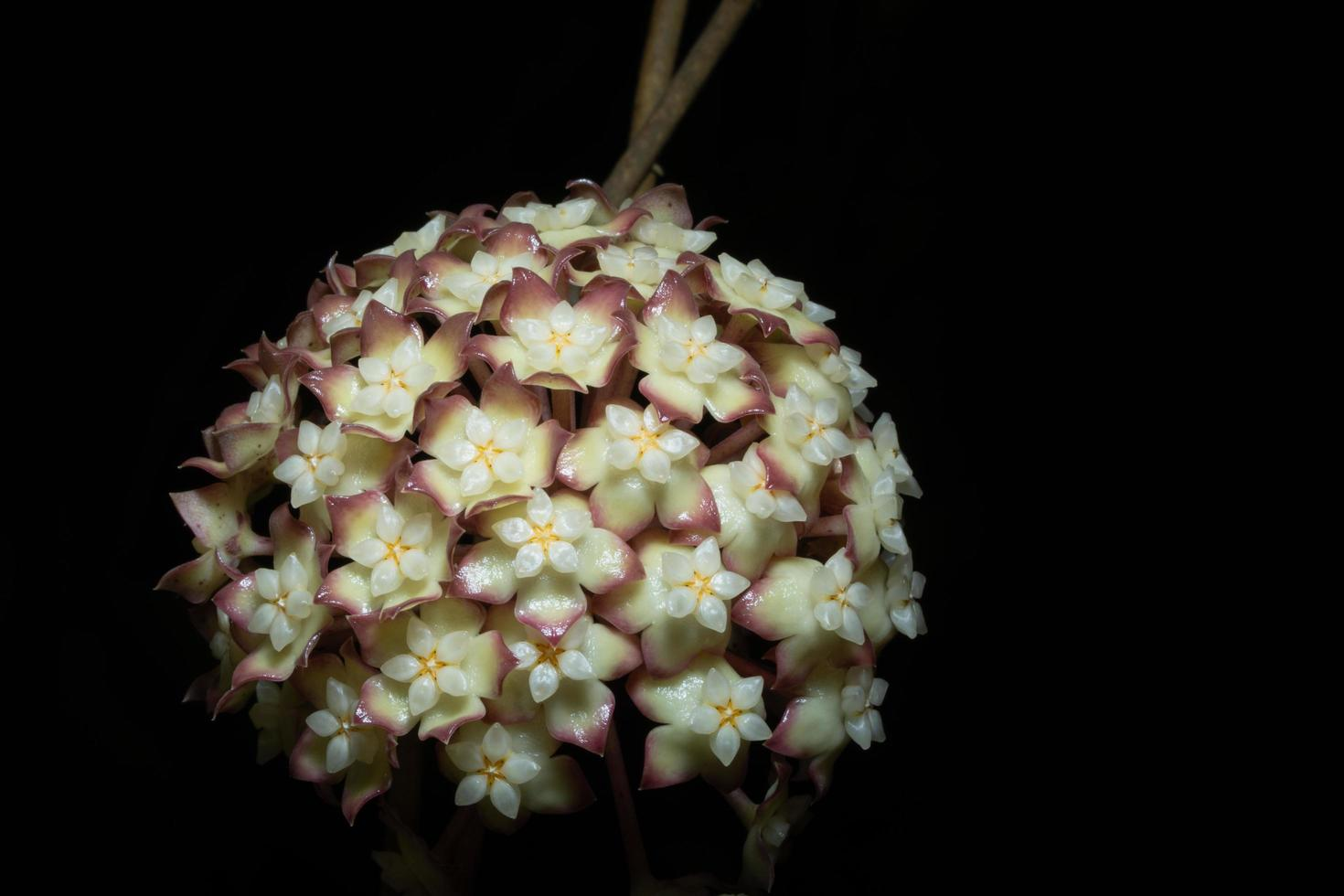 fleur de hoya sur fond noir photo