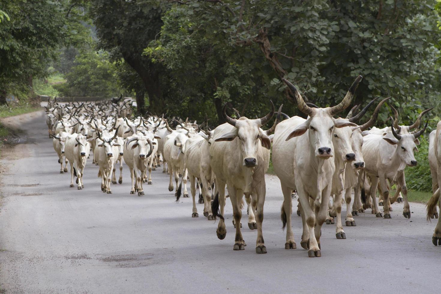troupeau de vaches indiennes photo
