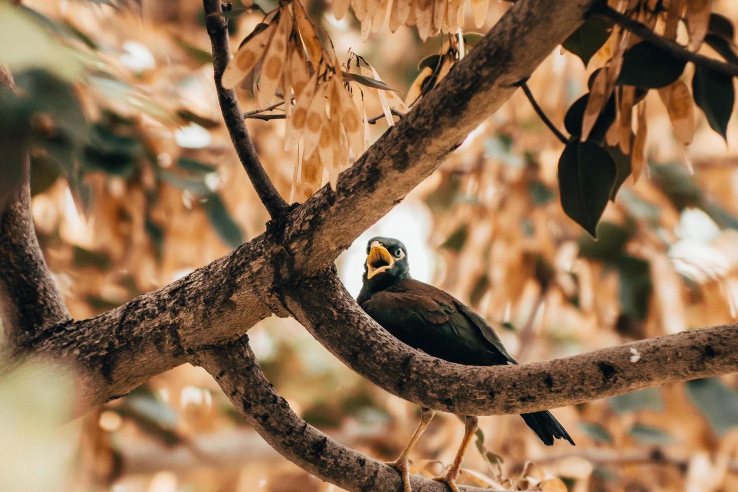 Blackbird gazouillant sur une branche photo