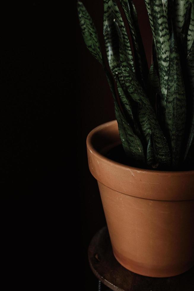 plante de serpent en pot d'argile brune photo